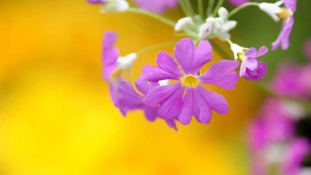 解读樱花草的花语