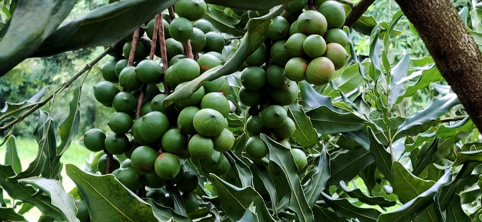 天猫出手 中国临沧坚果飘香世界,美国农产品堆积如山
