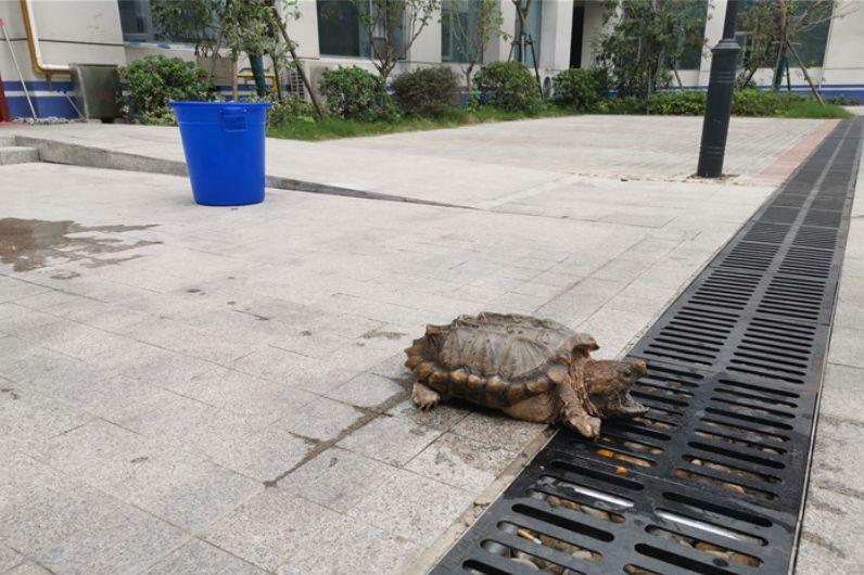 """啥情况?一个25斤""""神龟""""惊现泗阳闹市区"""