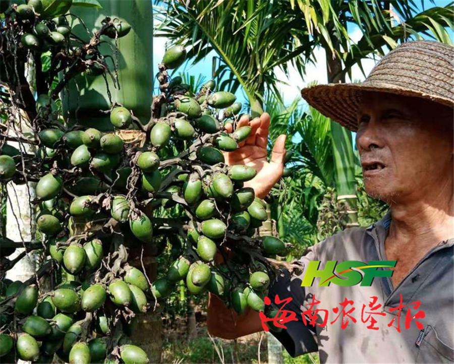 红昇农场公司东红片区槟榔进入采摘季
