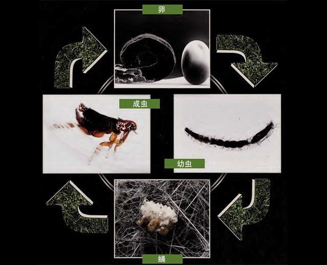 用什么方法可以提前防治跳蚤以免被叮咬