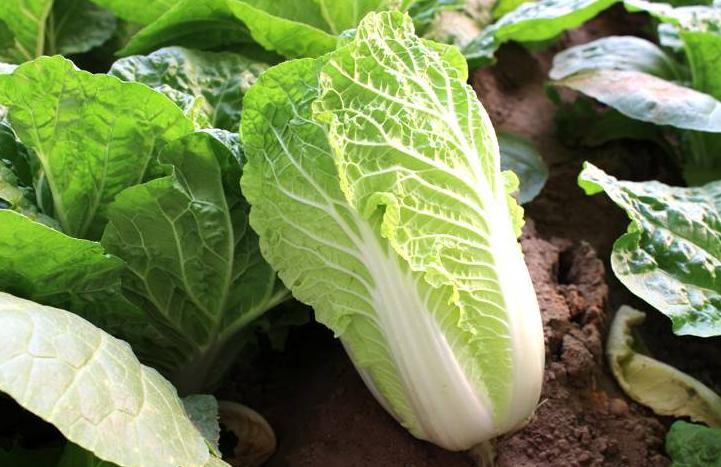 秋季种植大白菜,如何有效防治三大杀手涨知识了