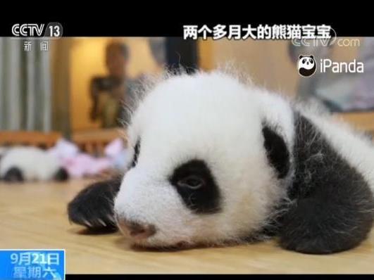 超重双胞胎大熊猫宝宝养成记