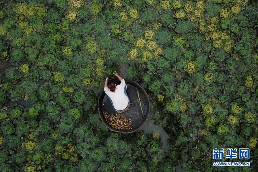 浙江湖州:秋风起采菱忙