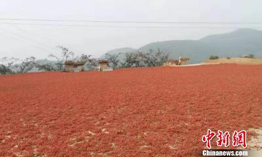 """中国大红袍花椒之乡:让椒香""""飘出""""太行山"""