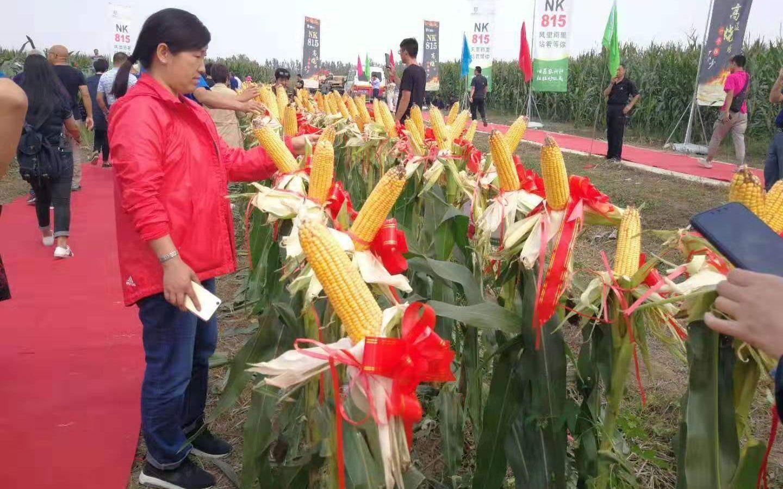 新品种夏玉米来了能抗高温、大雨、冰雹