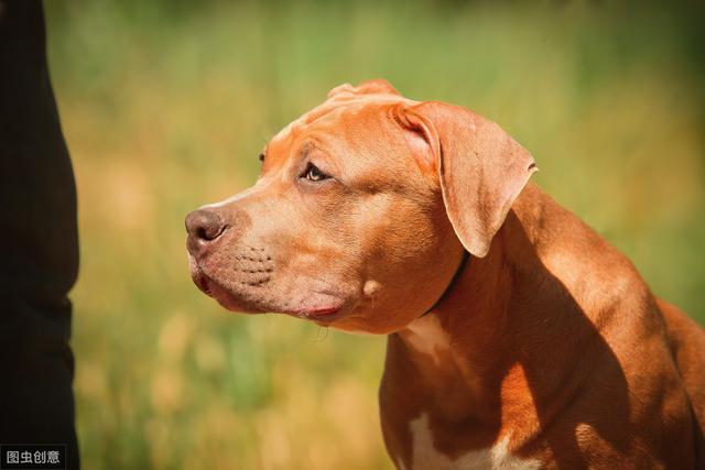 当之无愧的猛犬排行第一名——比特犬
