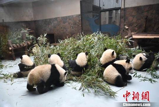 成都大熊猫基地国庆节期间将限流实行网络提前购票