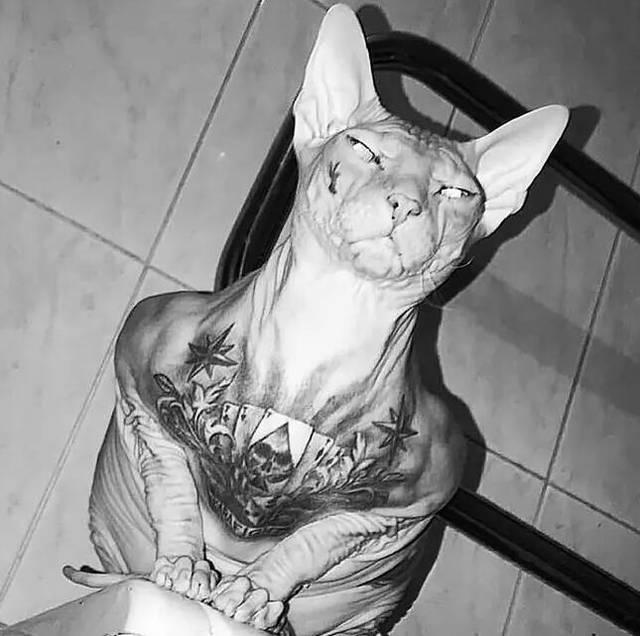 原创 那只多处被纹身的加拿大无毛猫,终究还是逃走了,走了......
