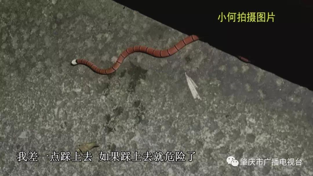 """市民在鼎湖山散步遇""""怪蛇"""" 原来是濒危物种"""
