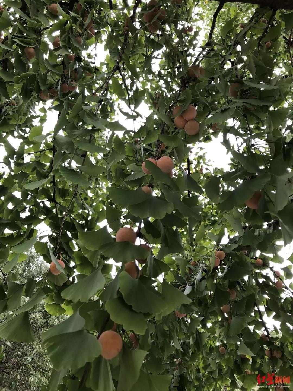 紧急提醒!这种果子目前随处可见,但千万别捡别吃!会中毒