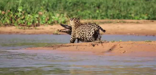 网赌提款成功不到账流水不够不给出款怎么办_鳄鱼在河边等猎物,没想到却睡着了,然后就悲剧了