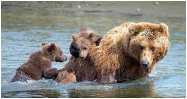 熊出没,好温馨!美国阿拉斯加棕熊妈妈背着熊宝宝过湖泊