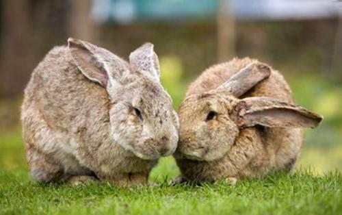 【兔兔の饲养经验】蝴蝶兔感染了耳螨,蝴蝶兔感染耳螨怎么办