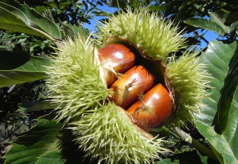 它是农村最为特别的一种坚果,农村小孩都喜欢,过去流行烧着吃