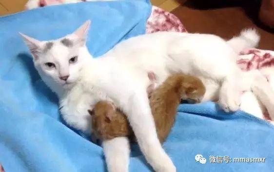 香逼巨奶小?_这喵星人最近刚做了妈妈,但是当它看着自己生下的俩小奶猫时却懵逼了
