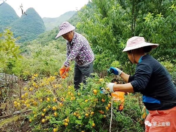 关岭中寨村:特色种植富村庄