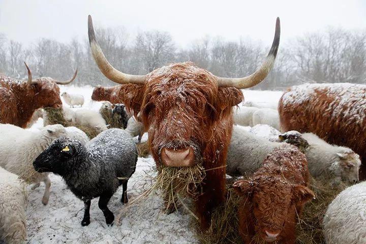 自然界中的 洗剪吹先生 苏格兰高地牛