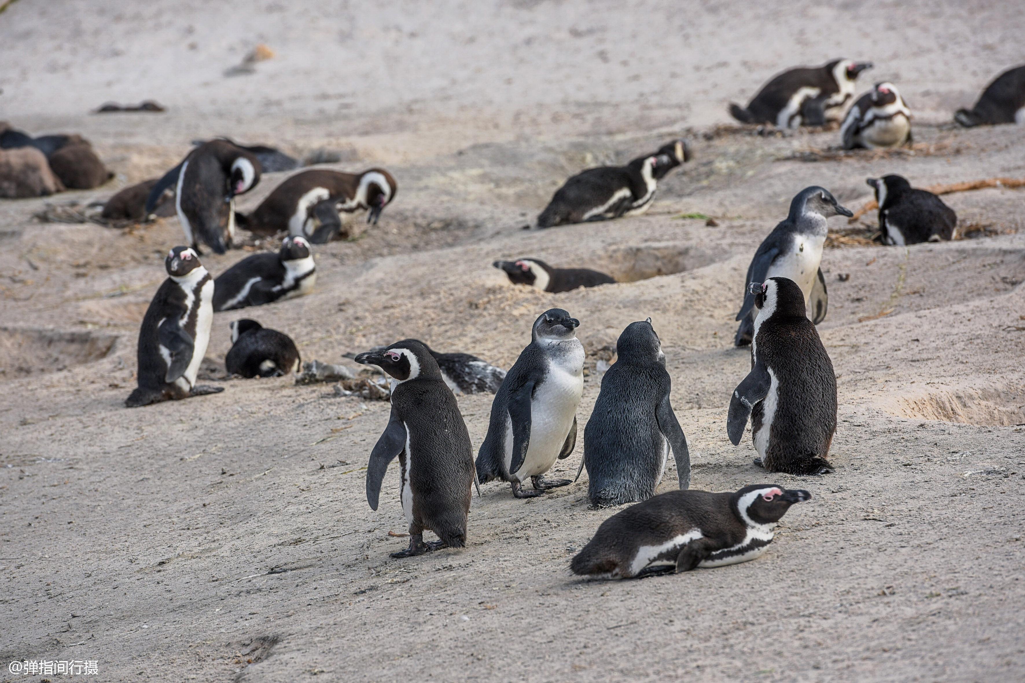 """非洲也有企鹅,长着""""红色眼影"""",有个外号叫""""公驴企鹅"""""""