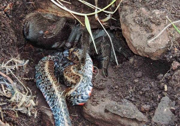 可怕的体型巨大的蜘蛛能吃蛇?黑色的蜘蛛有剧毒!