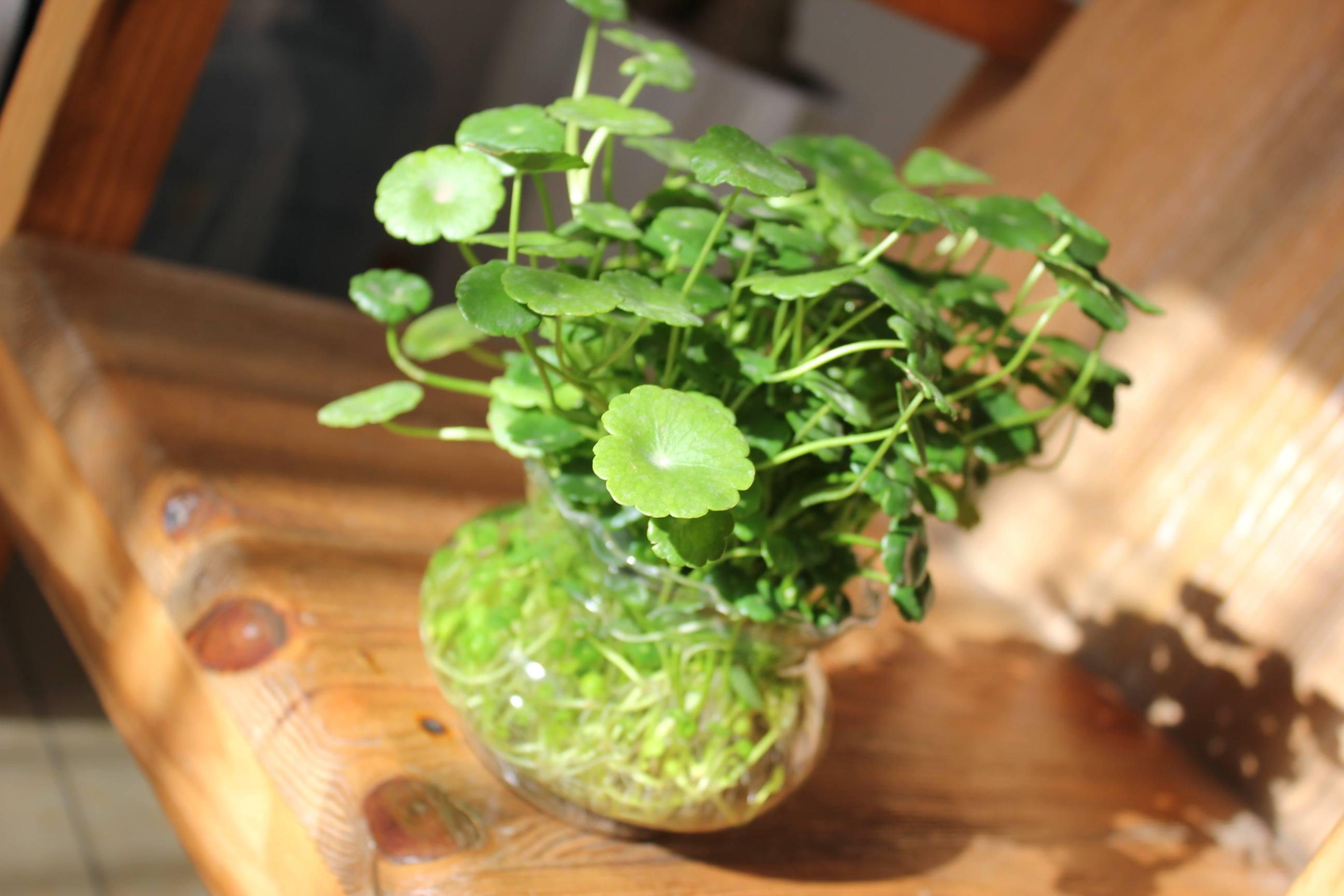 农村这种长得像铜钱的野菜,不仅能吃,还是草药,很... _腾讯网