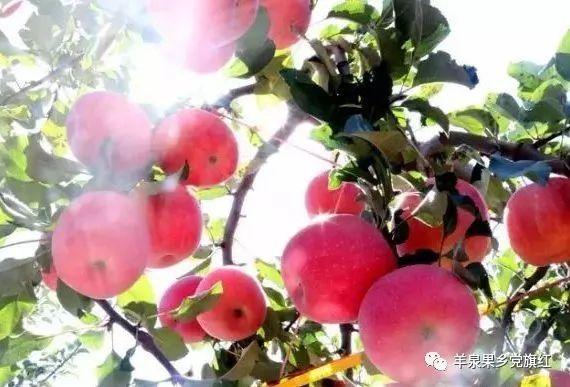 【苹果之乡  奋进羊泉】富县羊泉镇苹果产业后整理工作扎实推进