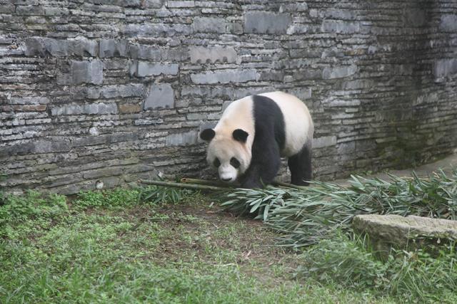4只大熊猫今日将正式与草原人民见面