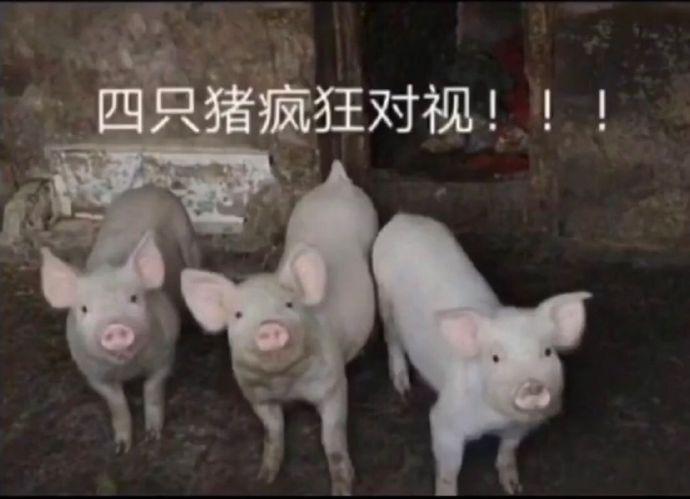 四只猪疯狂对视图片