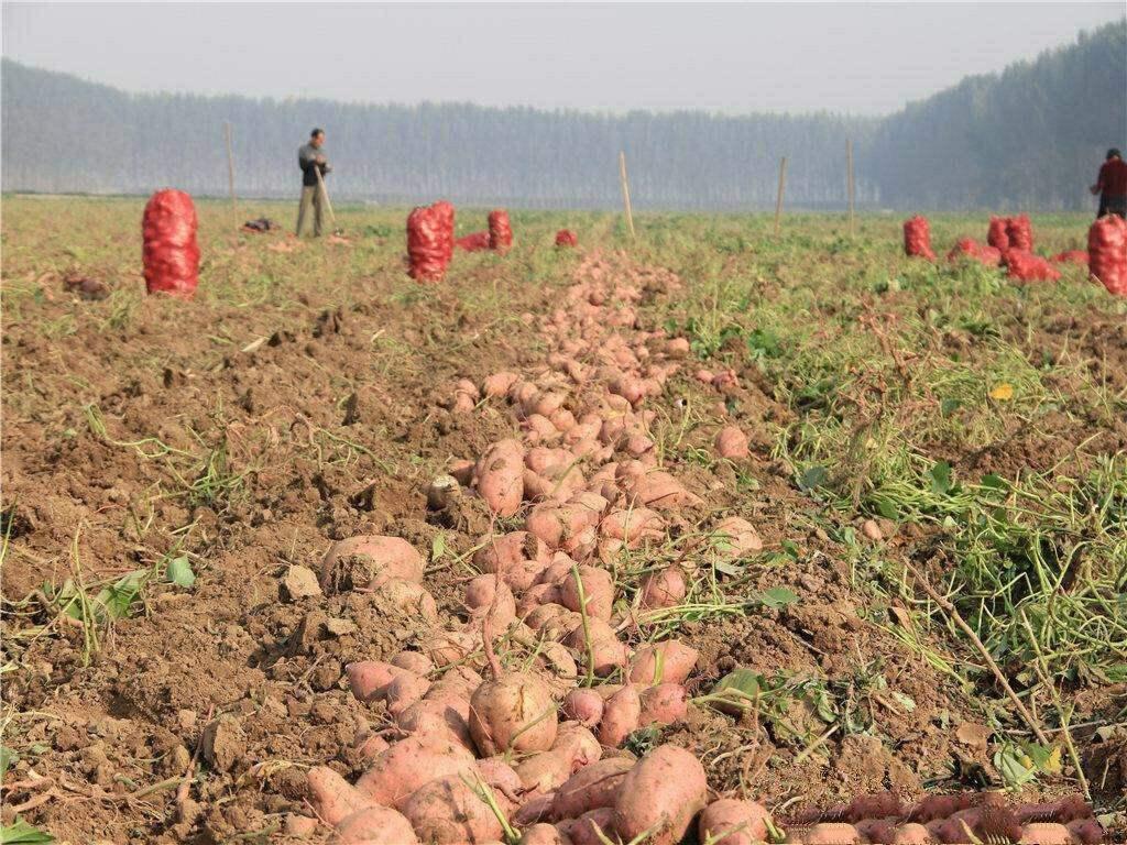 [汇总]红薯高产栽培技巧 - 豆丁网