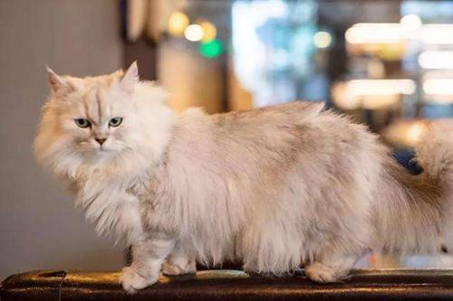 【奇妙の猫咪物语】金吉拉排便带血正常吗,金吉拉大便干燥出血怎么办