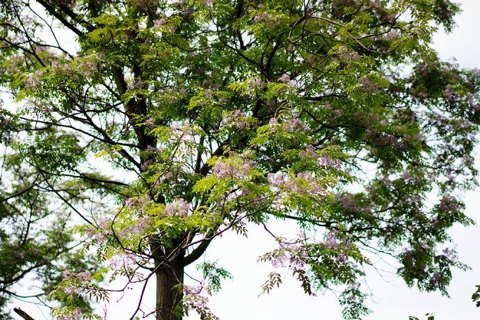"<b>农村有一种常见的树木,被叫做""羊屎蛋""树,现在却没人种植了</b>"