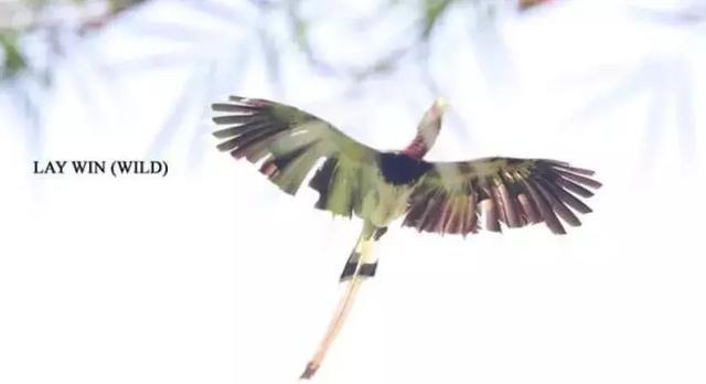"""缅甸这种鸟""""全身都是宝"""",但你不能碰"""