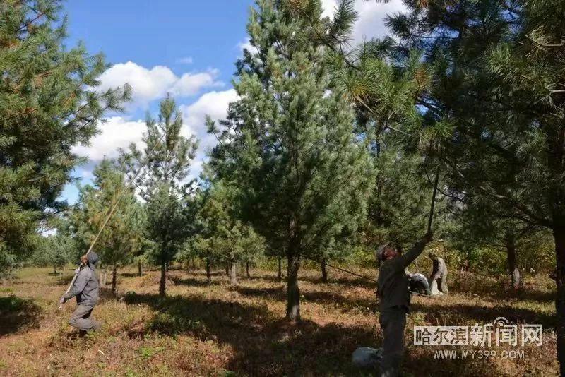 为了优质苗木别嘴馋,种子颗粒归仓丨尚志红松种子喜获丰收