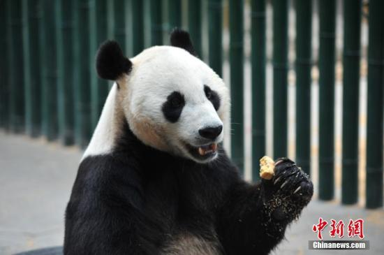 清迈动物园为大熊猫林慧庆生粉丝送花束纪念创创