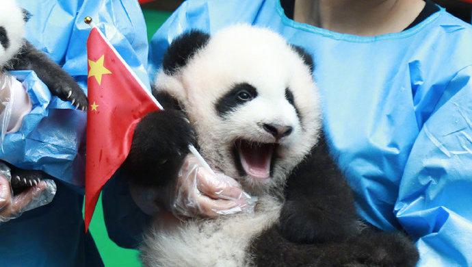 央视:熊猫终于在国庆这天有了彩色照片_张国宝