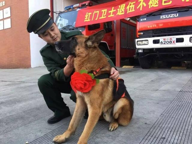 """汶川地震中最后一只搜救犬""""沈虎""""离世!曾在废墟中救出15人"""