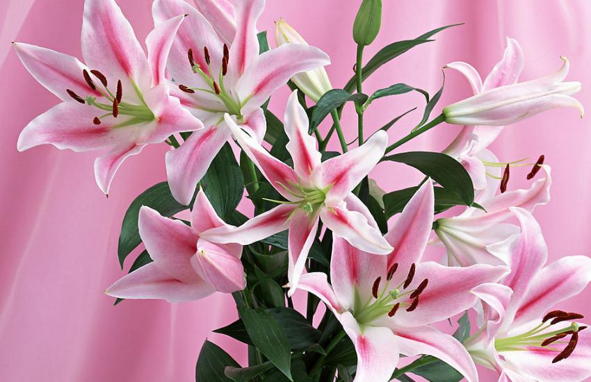 百合花什么季节开花 百合花怎么保鲜 百合花花语 百合花传说 百合花图片