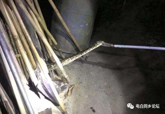 天花板掉下大蟒蛇究竟怎么回事?天花板掉下大蟒蛇令人震惊