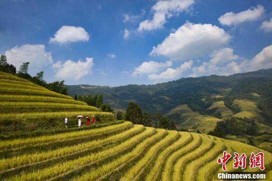 广西金秋龙脊梯田稻谷成熟吸引众多游客旅游观光