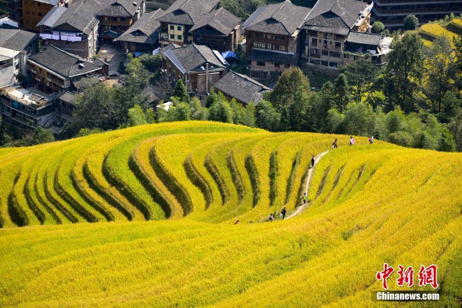 广西金秋龙脊梯田稻谷老练 招引很多游客旅游观光