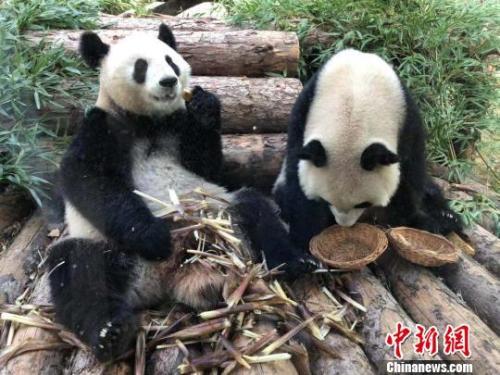 """10只大熊猫国庆节南京集体露面 海内外""""熊猫粉""""组团看望_熊猫来"""
