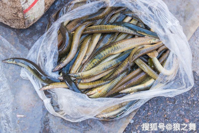 这鱼长得像一把刺刀,被乡下小孩嫌弃,却被当补品快吃绝了
