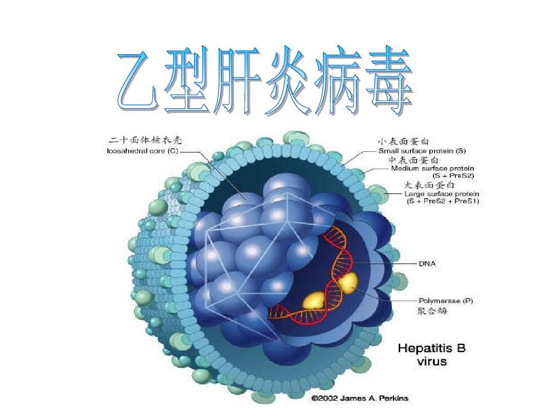 婴儿在母体会被乙肝传染的原理_乙肝携带者会传染人吗