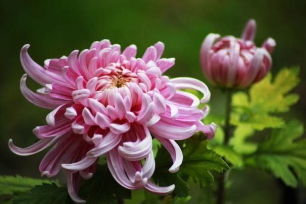 三种菊花,哪一种最好看测你秋天最好的运气是啥
