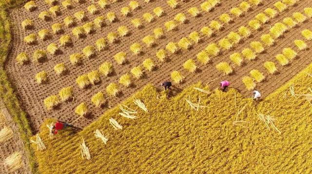 对华大米出口下降65%,越南正上演谷贱伤农,解困的2招也不太靠谱