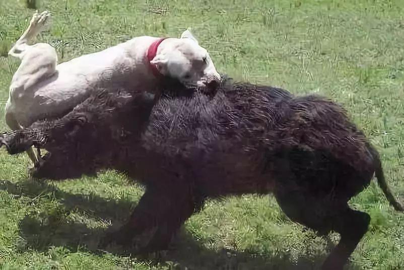 与野猪大战竟能将其碾压,比藏獒还凶猛 能打野猪的勇猛猎犬,很牛逼,你认识吗 杜高犬