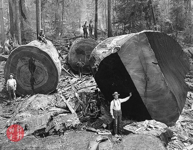 <b>老照片:百年前美国人的乱砍滥伐,千年古树被无情伐倒</b>