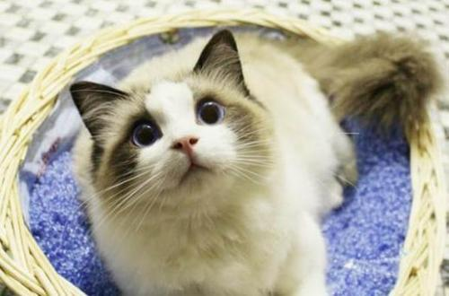 布偶猫公的温顺还是母的图片