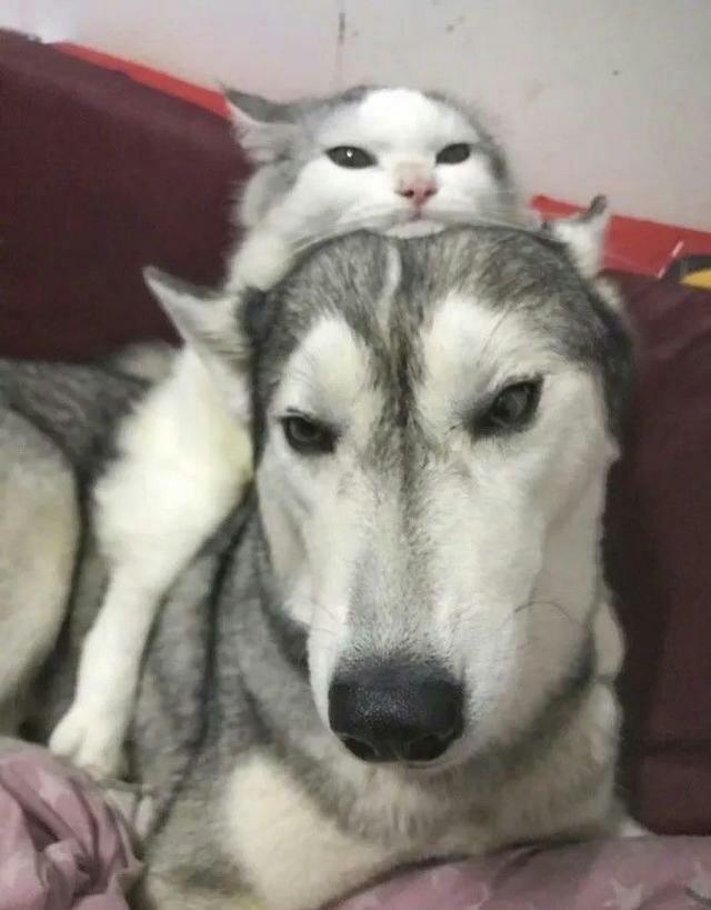"""猫咪从小就喜欢待在二哈头上,长大后,二哈成了""""慈父"""""""
