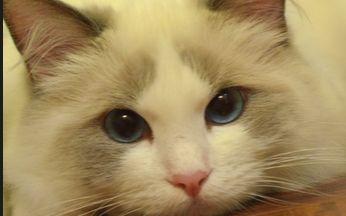 布偶猫公还是母的好看图片